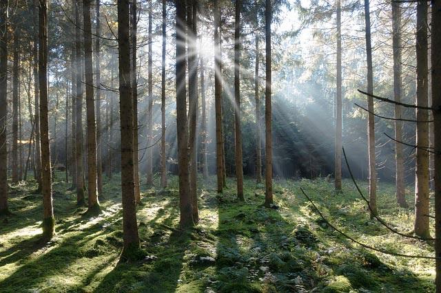 Fichtenholz erntereif