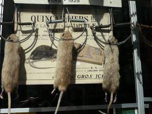 Ratten in der Schlagfalle